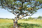 A group of lions on the tree in the Serengeti prairies.jpg