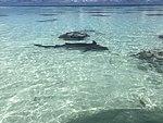 Fakarava - Requin dormeur.jpg